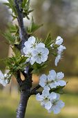 stock photo of bing  - This is a bing cherry tree - JPG