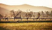 picture of kangaroo  - Group of australian kangaroos at Hunter Valley - JPG