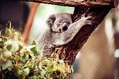 stock photo of koala  - Koala Bear relaxing on Australian Eucalyptus tree - JPG