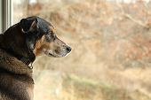 stock photo of shepherd  - a large black German Shepherd mix dog is sitting inside his house looking out the window at the autumn foliage - JPG