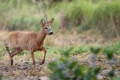 foto of roebuck  - Walking roebuck in the wild - JPG