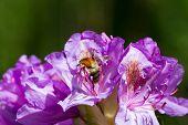 stock photo of lilas  - eine Hummel krabbelt auf Nahrungssuche in einer lila Bl - JPG