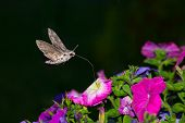 image of hawk moth  - Privet Hawk Moth Sphinx ligustri sucking nectar from a flower - JPG
