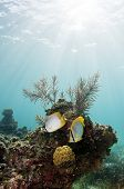 stock photo of butterfly fish  - A pair of butterfly fish swim over a coral reef in the Caribbean - JPG
