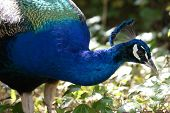 Indian Peafowl - Pavo Cristatus