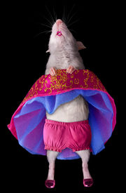 foto of exhibitionist  - A baby dumbo rat is raising her skirt while dancing - JPG