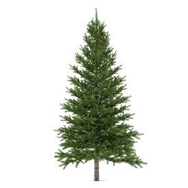 pic of pinus  - Tree isolated - JPG