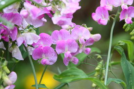 stock photo of sweet pea  - everlasting sweet pea in bloom after a rain shower - JPG