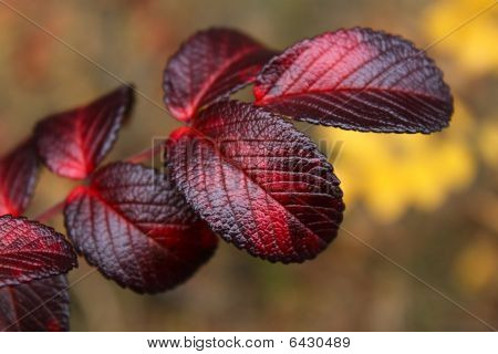 Wild Rose Autumn Leaves