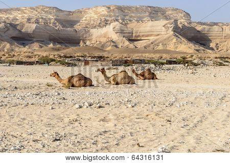 Sitting Dromedaries In Canyon Of Wadi Ash Shuwaymiyyah (oman)