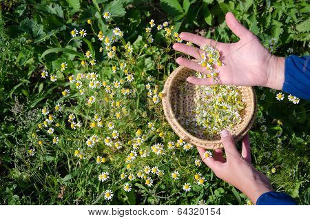 Female Hand Pick Camomile Herb Flower Blooms