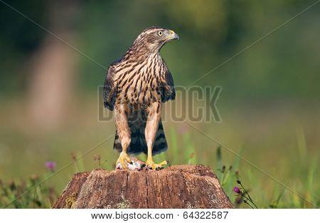 Juvenile goshawk with prey