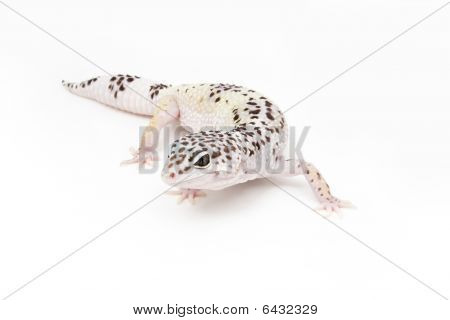 Hypo Tug Snow Leopard Gecko