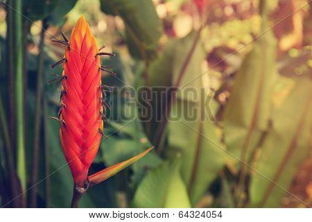 Heliconia epicopalis vellozo flower, retro filter