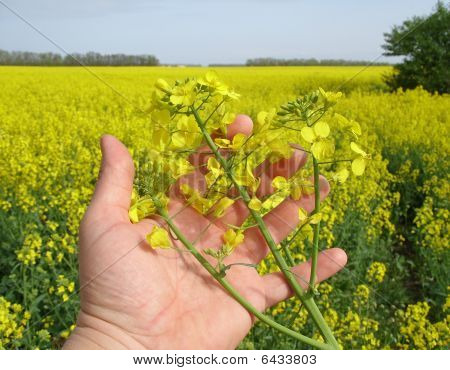 Blossoming rape in  hand
