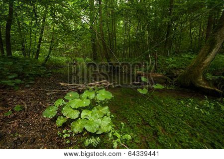 Group of coltsfoot plants in a marsh