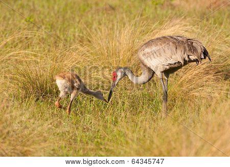 Sandhill Crane And Colt