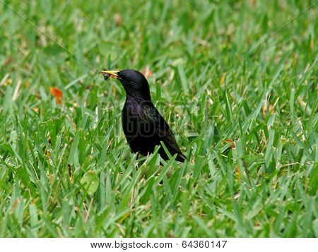 European Starling Eating Insect
