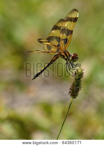 Halloween Pennant Dragonfly on Green and Purple Weed