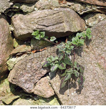 A Deadnettle Grows In Wall Crevice, Lamium Purpureum