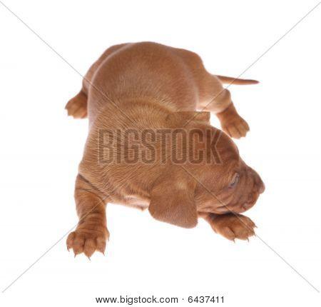 Dachshund Puppies 012