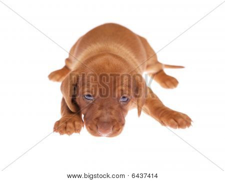 Dachshund Puppies 011
