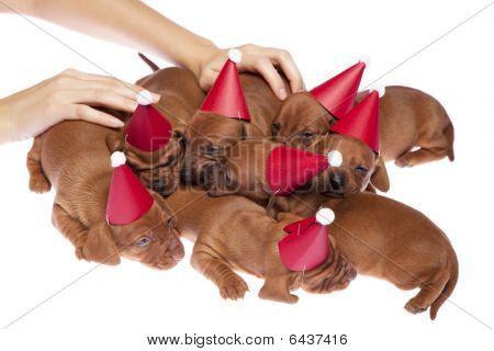 Dachshund Puppies 015