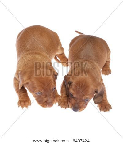 Dachshund Puppies 07