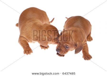Dachshund Puppies 08
