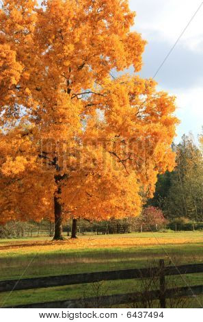 Single tree in yellow orange fall color
