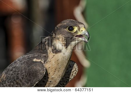 detail of peregrine falcon in a medieval fair