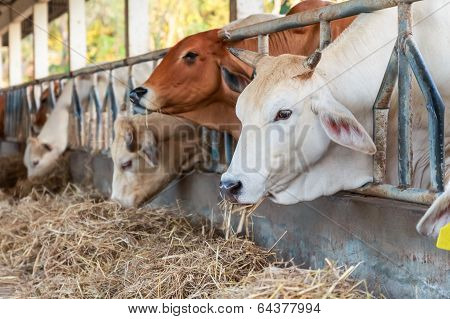 Thai Cows Feeding Hay In The Farm