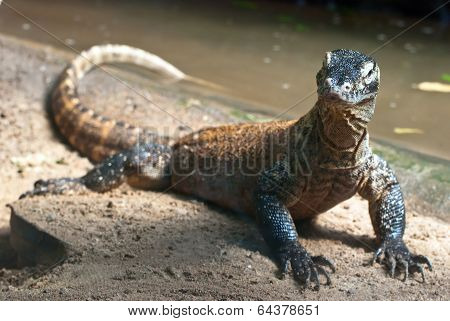 Portrait Of Komodo Dragon