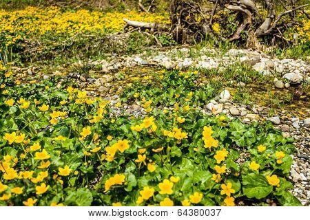 Kingcup flowers