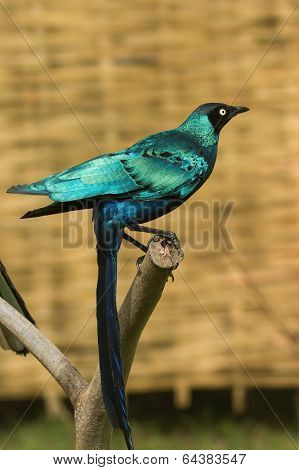 Long-tailed Starling With Long Tail Feathers Hanging Down