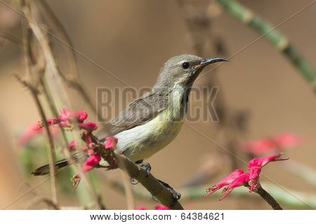 Young Beautiful Sunbird Perched Beside  Pink Flowers
