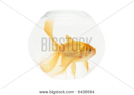 A Golden Fish In Aquarium