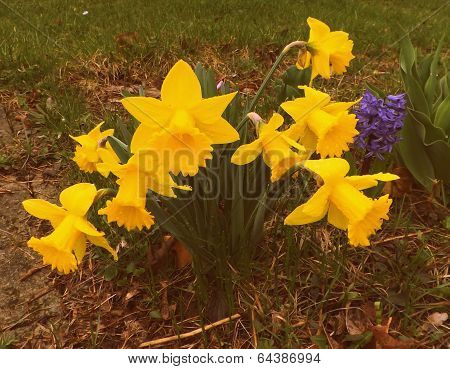 Daffodils in a group
