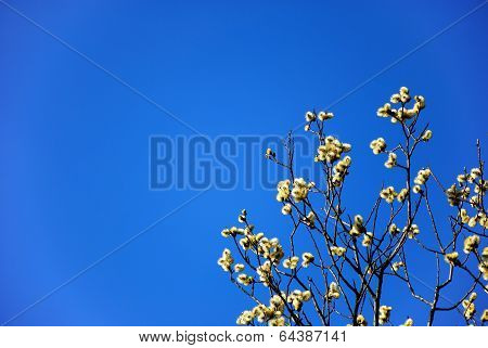Fluffy Catkins Branches At Blue Sky