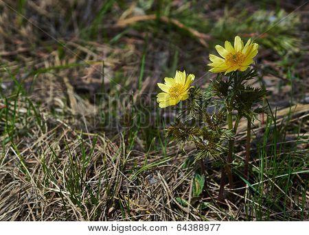 Spring Flowering Spring Rastenieadonis (adonis Vernalis).