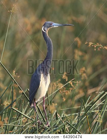 Tricolored Heron Standing In A Marsh