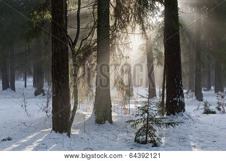Winter Landscape Of Coniferous Stand