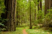 stock photo of redwood forest  - A walking path through the redwood forest - JPG