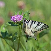 Image of common yellow swallowtail (papilio machaon).