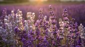 pic of lavender plant  - Some lavender with the sun setting behind it