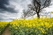picture of rape  - Rape Seed Fields In The UK. Seed Used To Make Rape Seed Oil