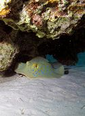 pic of stingray  - A blue spotted stingray under a coral ledge - JPG
