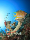 image of damselfish  - Damselfish and sponge on underwater coral reef - JPG
