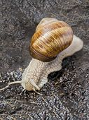 image of hermaphrodite  - Burgundy snail in a garden after rain