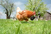 stock photo of chicken-wire  - Two chickens in the yard pecking crumbs of bread - JPG